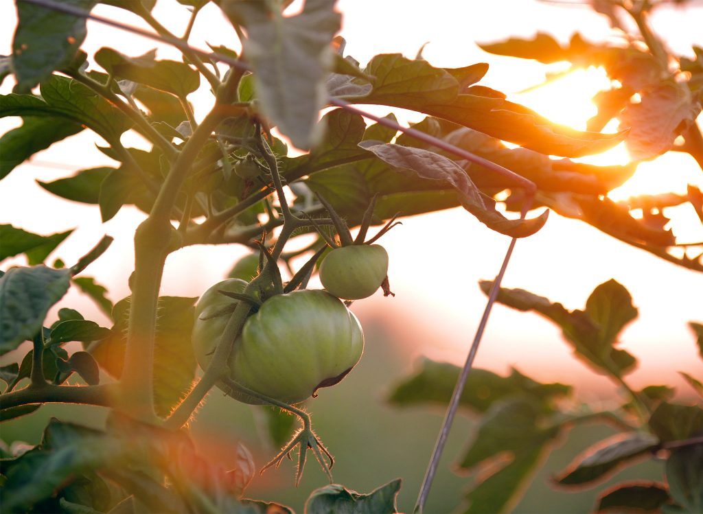 tomatoes on the vine with the sunlight beaming through them